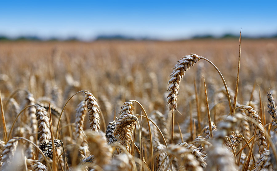 Îles de Boucherville, médiation dans le dossier de la culture du maïs