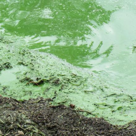 Lutte contre la prolifération des cyanobactéries